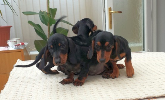 Miniature Dachshund puppies illegally imported by Viktor Molnar
