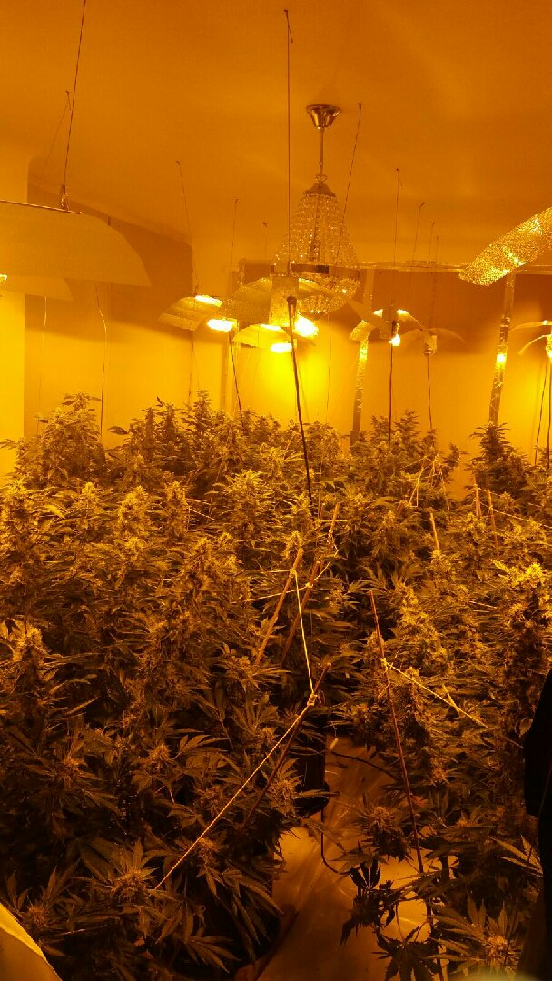 Police seized a number of cannabis plants from the address in Heys Road