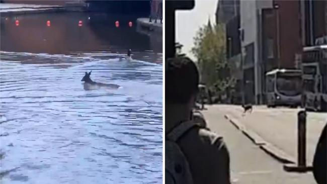 Pictures taken from the Twitter feeds of @kateerskine (left) and @rosemaryogden of a deer in central Manchester. Picture: @kateerskine/@rosemaryogden /PA Wire